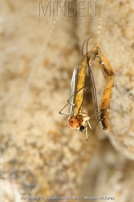 Fungus gnat (Arachnocampa luminosa) emerging from pupa, Glowworm cave near Waitomo Cave, near Te Kuiti, North Island, New Zealand, July  -  Solvin Zankl/ npl