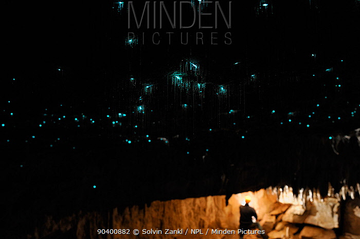 Bioluminescent Fungus gnat (Arachnocampa luminosa) larvae on cave roof and sticky silk threads hanging down, with a person in the background, Glowworm cave near Waitomo Cave, near Te Kuiti, North Island, New Zealand, July  -  Solvin Zankl/ npl