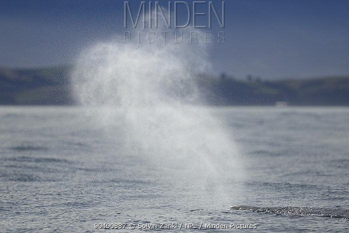 Sperm whale (Physeter macrocephalus, catodon) blowing, spouting, Kaikoura, New Zealand, July, Vulnerable species  -  Solvin Zankl/ npl