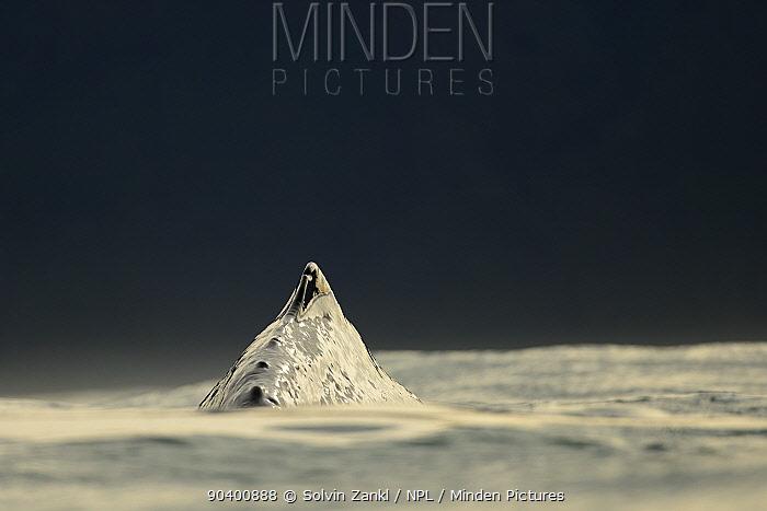 Sperm whale (Physeter macrocephalus) surfacing, dorsal fin above water, Kaikoura, New Zealand, July, Vulnerable species  -  Solvin Zankl/ npl