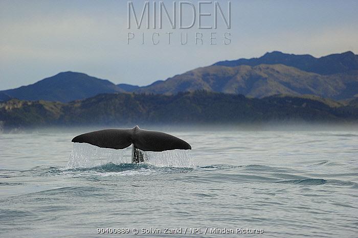 Sperm whale (Physeter macrocephalus) tail fluke above water before diving, Kaikoura, New Zealand, July, Vulnerable species  -  Solvin Zankl/ npl