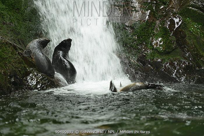 Three New Zealand fur seal pups (Arctocephalus forsteri) two on rocks near waterfall, another swimming, Ohau Stream, near Kaikoura, New Zealand, July  -  Solvin Zankl/ npl