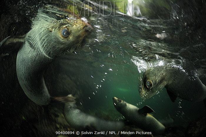 New Zealand fur seal (Arctocephalus forsteri) pups playing in freshwater pool, Ohau Stream, near Kaikoura, New Zealand, July  -  Solvin Zankl/ npl