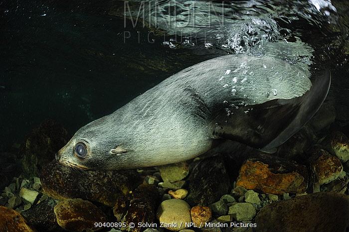 New Zealand fur seal (Arctocephalus forsteri) pup in shallow freshwater, Ohau Stream, near Kaikoura, New Zealand, July  -  Solvin Zankl/ npl