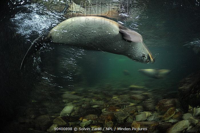 New Zealand fur seal (Arctocephalus forsteri) swimming upside down in shallow freshwater, Ohau Stream, near Kaikoura, New Zealand, July  -  Solvin Zankl/ npl