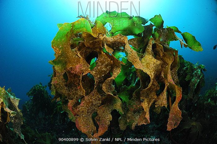 Ecklonia kelp (Ecklonia radiata) Poor Knights Islands, Marine Reserve, North Island, New Zealand, South Pacific Ocean, July  -  Solvin Zankl/ npl