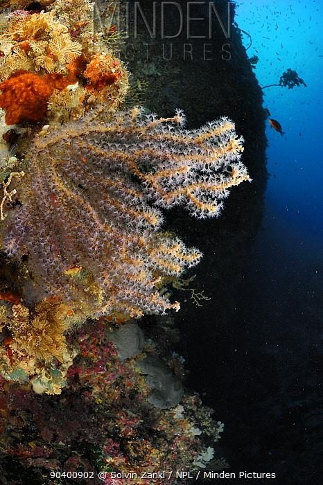 Gorgonia (Alcyonacea, Gorgonacea) on underwater cliff face, Poor Knights Islands, Marine Reserve, New Zealand, South Pacific Ocean, July  -  Solvin Zankl/ npl