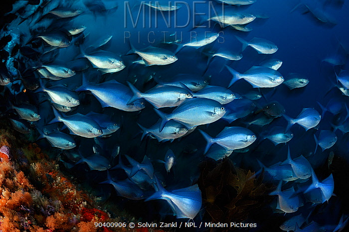 Blue maomao (Scorpis violacea) shoal, Poor Knights Islands, Marine Reserve, New Zealand, South Pacific Ocean, July  -  Solvin Zankl/ npl