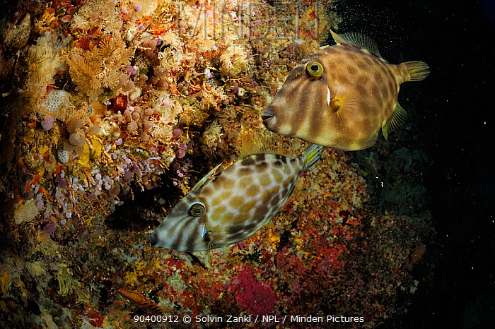 Two Leatherjackets (Parika scaber) Poor Knights Islands, Marine Reserve, New Zealand, South Pacific Ocean, July  -  Solvin Zankl/ npl