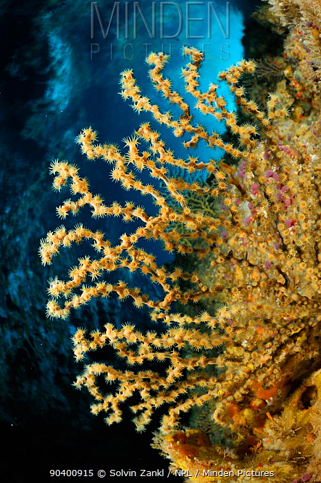 Gorgonia (Alcyonacea, Gorgonacea) on underwater rock face, Poor Knights Islands, Marine Reserve, New Zealand, South Pacific Ocean, July  -  Solvin Zankl/ npl