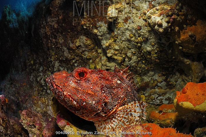 Northern scorpionfish (Scorpaena cardinalis) Poor Knights Islands, Marine Reserve, New Zealand, South Pacific Ocean, July  -  Solvin Zankl/ npl