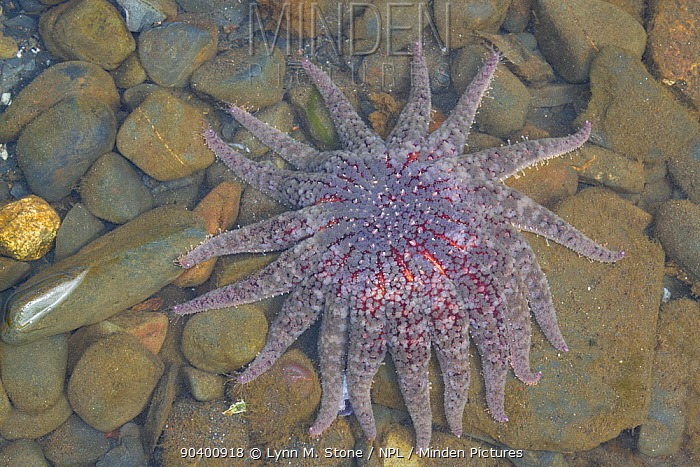 Sunflower Sea Star (Pycnopodia helianthoides) Olga Bay, Kodiak Island, Alaska, USA, August  -  Lynn M. Stone/ npl