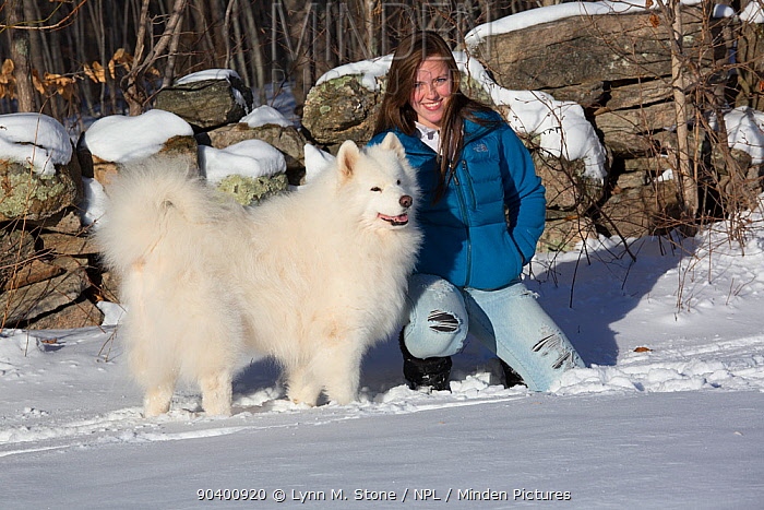 Young woman (age 18) with Samoyed dog at woodland edge by stone wall in snow, Ledyard, Connecticut, USA (Non-ex)  -  Lynn M. Stone/ npl