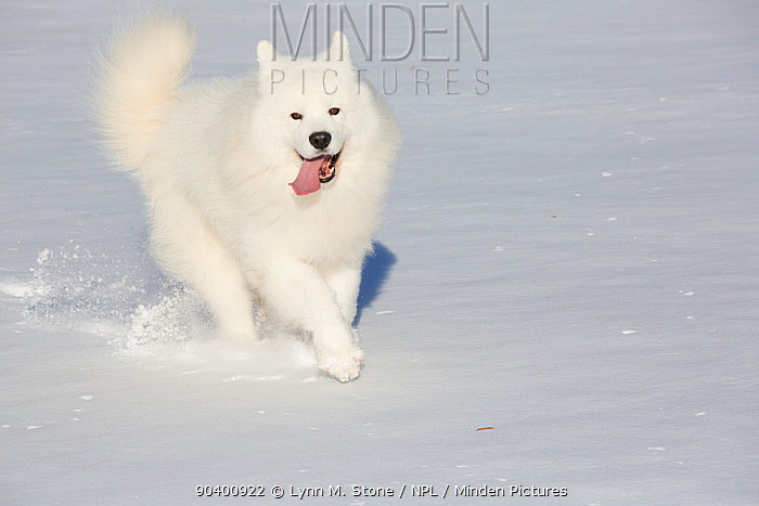 Samoyed dog running in in snow, Ledyard, Connecticut, USA  -  Lynn M. Stone/ npl