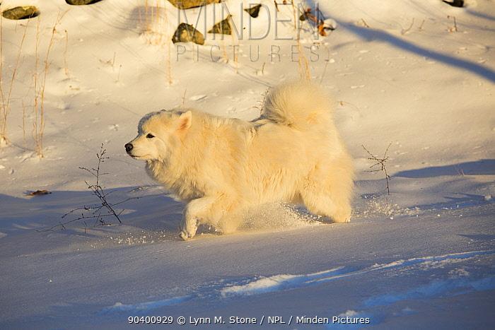 Samoyed dog in snow, Ledyard, Connecticut, USA Non exclusive  -  Lynn M. Stone/ npl