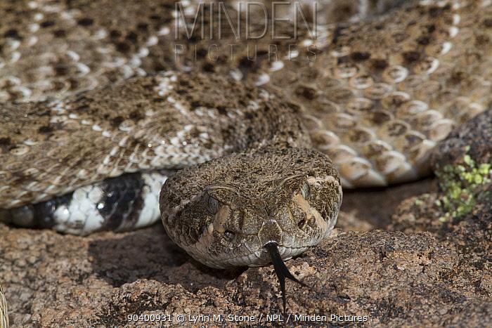 Western Diamondback Rattlesnake (Crotalus atrox) on rock with tongue extended, Phoenix, Arizona, USA Non exclusive  -  Lynn M. Stone/ npl