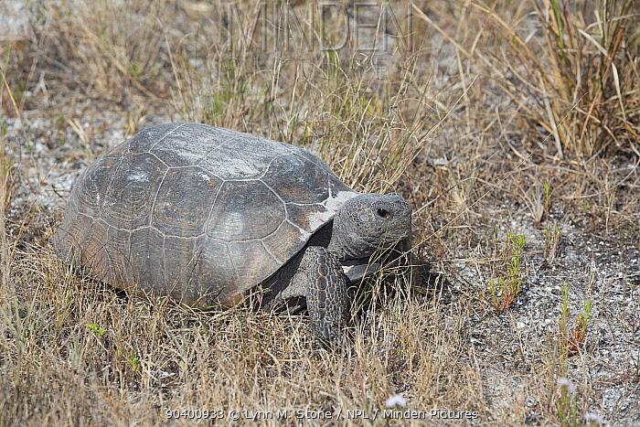 Gopher Tortoise (Gopherus polyphemus) grazing, Honeymoon Island, Florida, USA, May Non exclusive  -  Lynn M. Stone/ npl