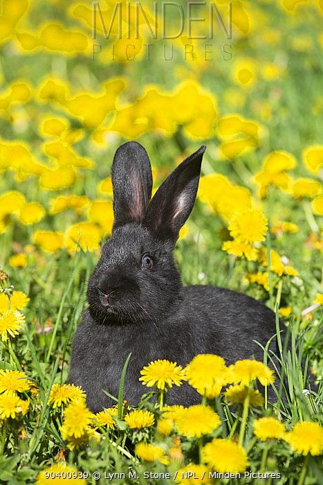Baby New Zealand breed rabbit in spring flowers, Union, Illinois, USA  -  Lynn M. Stone/ npl
