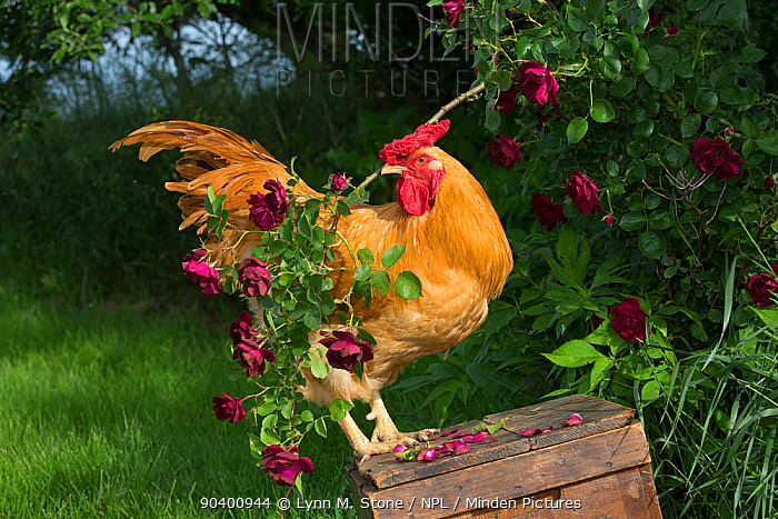 Buff Wyandotte rooster perched on antique wooden egg case in grass beside rose bush Calamus, Iowa, USA  -  Lynn M. Stone/ npl