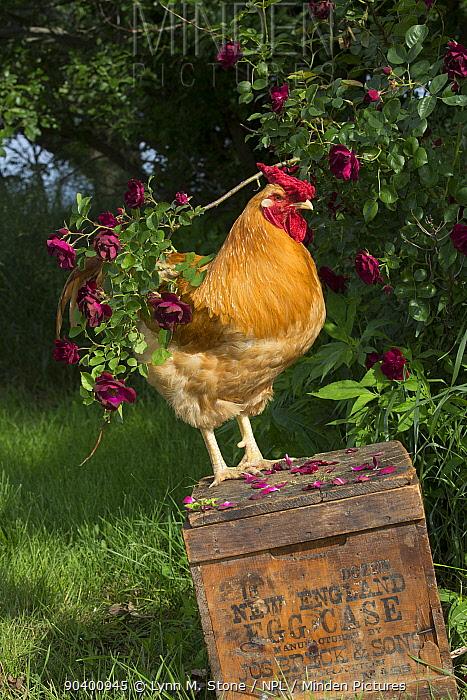 Buff Wyandotte rooster perched on antique wooden egg case in grass beside rose bush Calamus, Iowa, USA  -  Lynn M. Stone/ npl