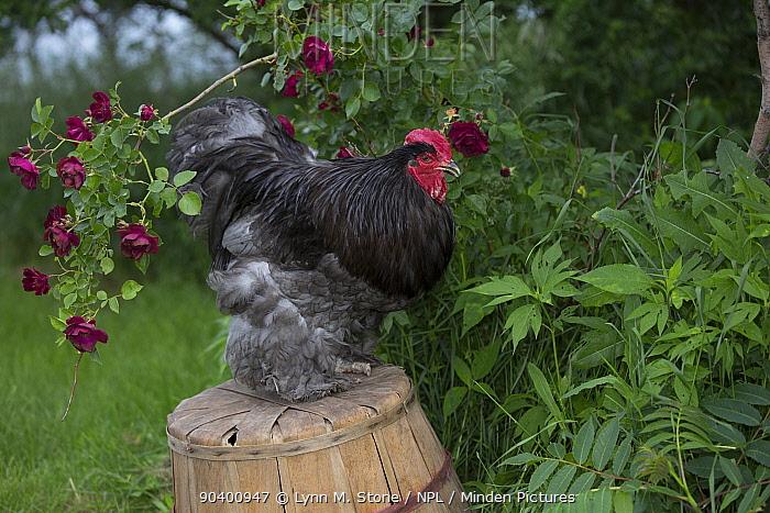 Blue Cochin Rooster perched on overturned peach basket by shrub rose, Calamus, Iowa, USA  -  Lynn M. Stone/ npl