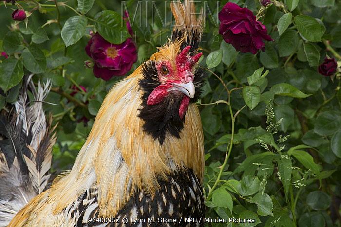 Creme Brabanter rooster perched on stump by rose bush, Calamus, Iowa, USA  -  Lynn M. Stone/ npl