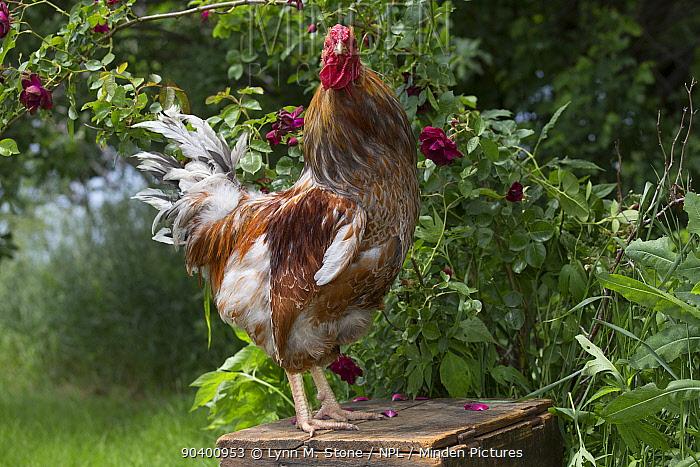 Blue lace wyandotte rooster perched on antique wooden egg case by rose bush, Calamus, Iowa, USA  -  Lynn M. Stone/ npl