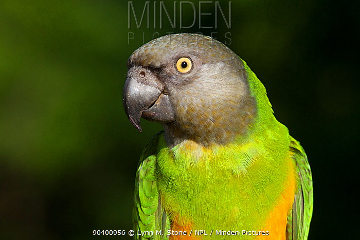 Senegal Parrot (Poicephalus senegalus) captive, native to Africa  -  Lynn M. Stone/ npl