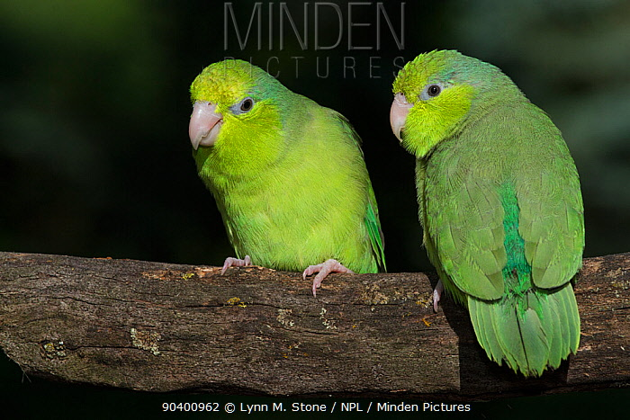 Pacific Parrotlets (Forpus coelestis) captive, native to West Ecuador and North West Peru  -  Lynn M. Stone/ npl