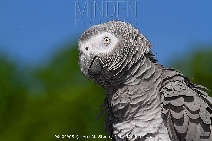 African Gray Parrot (Psittacus erithacus) native to central and western Africa  -  Lynn M. Stone/ npl