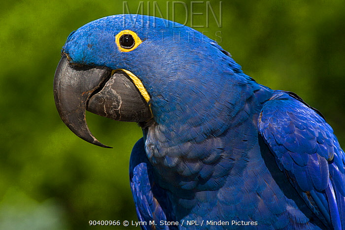 Hyacinth Macaw (Amnolorhynchus hyacinthinus) captive native to Brazil, Boliva, and Paraguay Endemic species  -  Lynn M. Stone/ npl