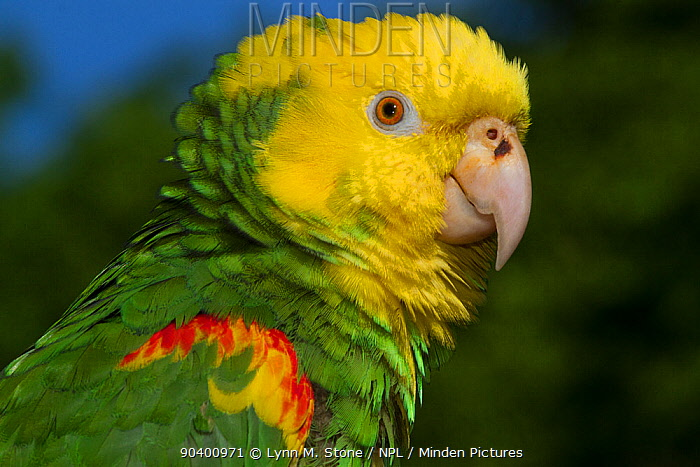 Yellow-Headed Amazon Parrot (Amazona oratrix) captive, native central America Endangered species  -  Lynn M. Stone/ npl