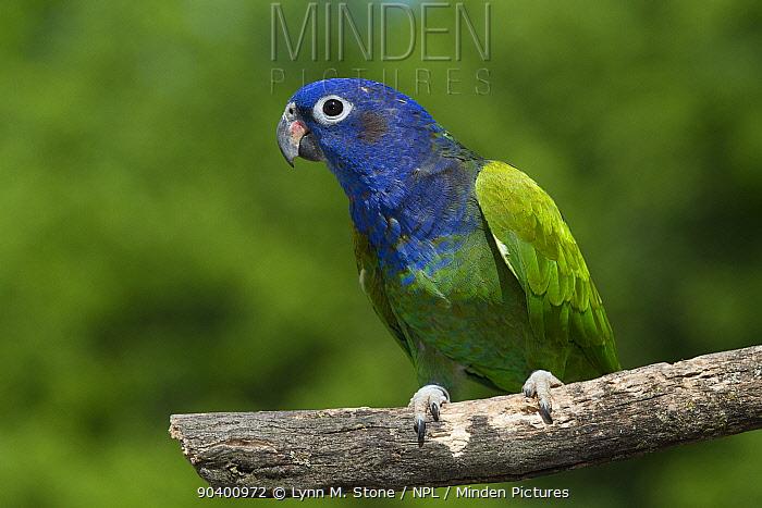Blue-Headed Parrot (Pionus menstruus) portrait, captive, native to Central and South America  -  Lynn M. Stone/ npl