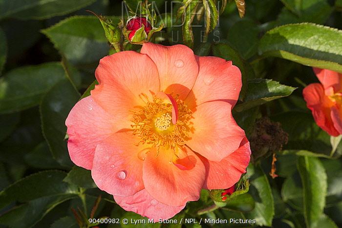 Shrub Rose All the Rage, Winfield, Illinois, USA  -  Lynn M. Stone/ npl