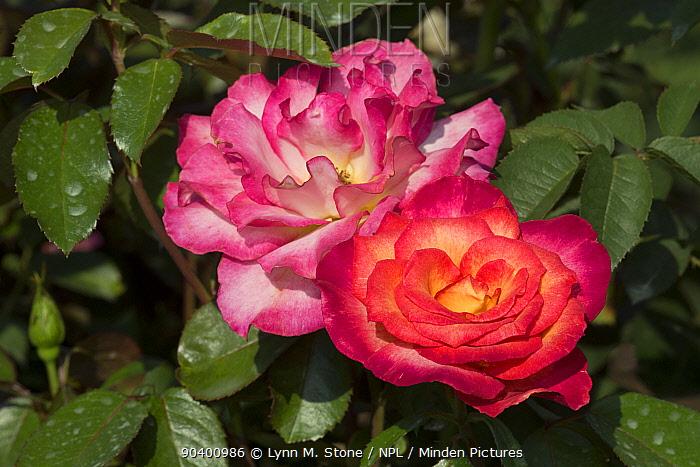 Floribunda Rose Rainbow Sorbet, Winfield, Illinois, USA  -  Lynn M. Stone/ npl