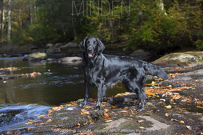 Flat-Coated Retriever in autumn, East Haddam, Connecticut, USA  -  Lynn M. Stone/ npl