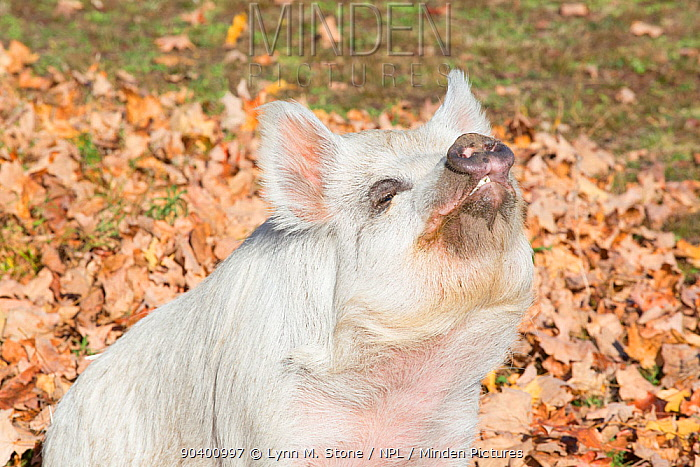 Kune Kune Pig, a New Zealand breed, Higganum, Connecticut, USA  -  Lynn M. Stone/ npl