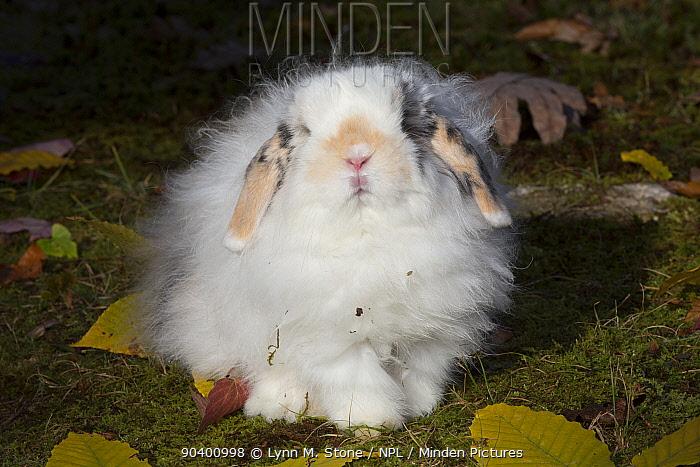 Fluffy Lop rabbit in East Haddam, Connecticut USA  -  Lynn M. Stone/ npl