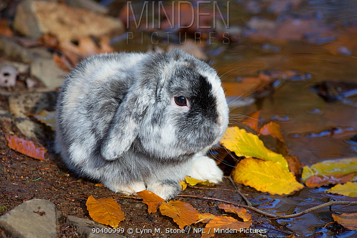 Lop Rabbit baby in autumn leaf litter, East Haddam, Connecticut, USA  -  Lynn M. Stone/ npl