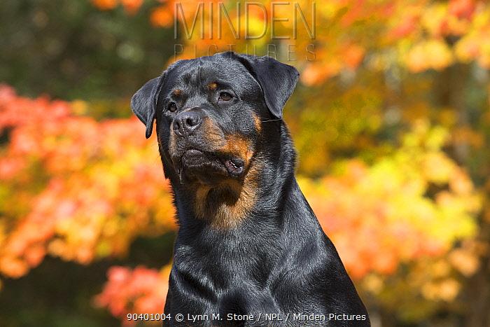 Rottweiler in autumn, East Haddam, Connecticut, USA Non exclusive  -  Lynn M. Stone/ npl