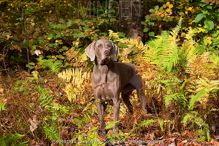 Weimaraner in autumn foliage, East Haddam, Connecticut, USA Non exclusive  -  Lynn M. Stone/ npl