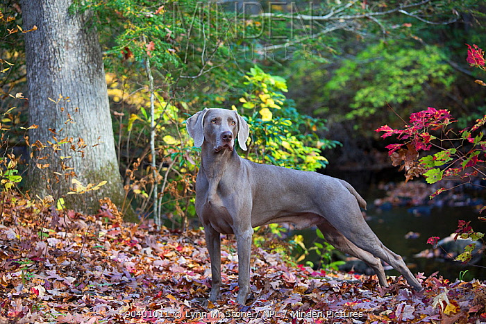 Weimaraner in autumn foliage by small river, East Haddam, Connecticut, USA Non exclusive  -  Lynn M. Stone/ npl
