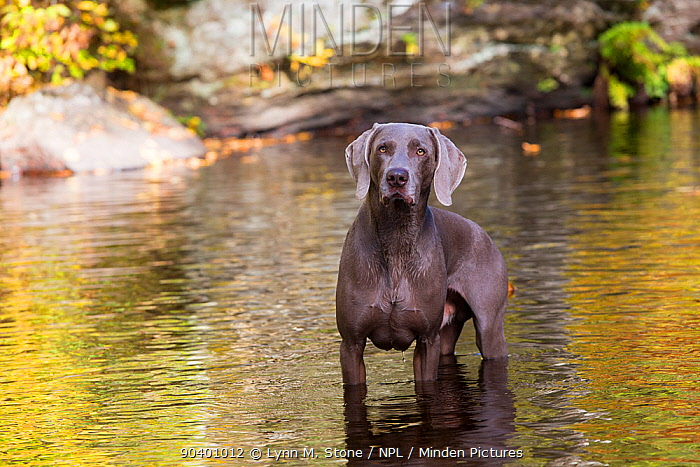 Weimaraner dog in small river, East Haddam, Connecticut, USA Non exclusive  -  Lynn M. Stone/ npl