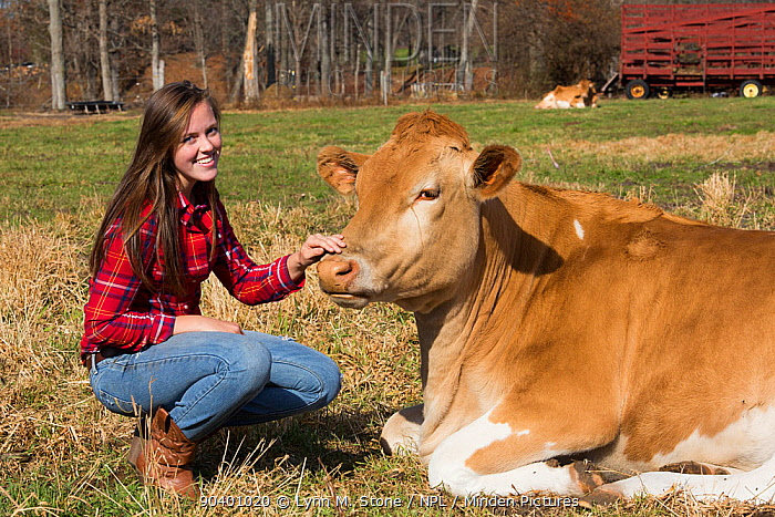 Young woman with Guernsey heifer in pasture, Granby, Connecticut, USA, November 2013 Model released  -  Lynn M. Stone/ npl