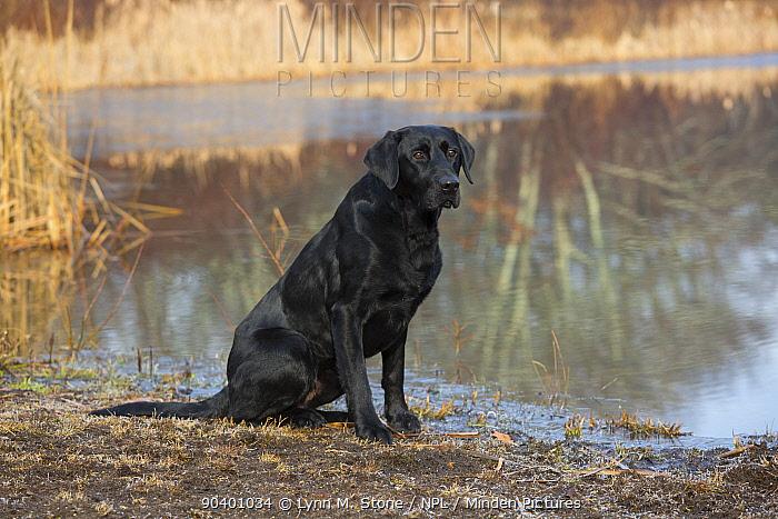Black Labrador Retriever sitting by pond, Canterbury, Connecticut, USA Non exclusive  -  Lynn M. Stone/ npl