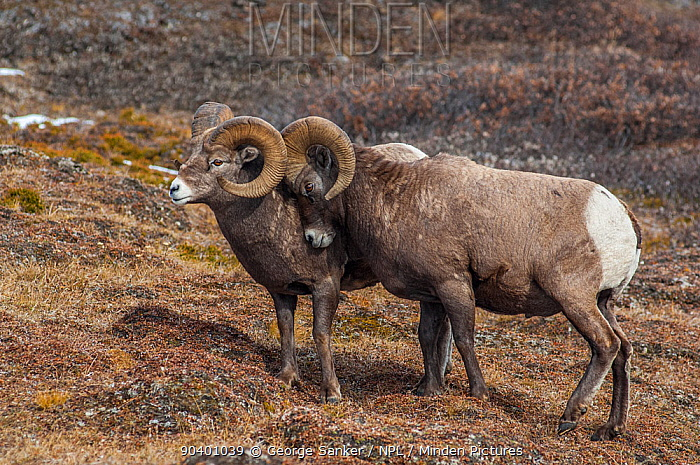 Bighorn Rams (Ovis canadensis) sparring in a high mountain pass in Jasper National Park, Alberta, Canada, October  -  George Sanker/ npl