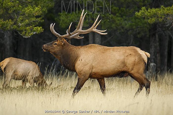 Bull Elk (Cervus elaphus), mature bull in mountain meadow during the mating season Banff National Park, Alberta, Canada, October  -  George Sanker/ npl