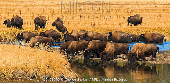 American Buffalo or Bison (Bison bison) herd drinking Yellowstone National Park, Wyoming, USA, October  -  George Sanker/ npl