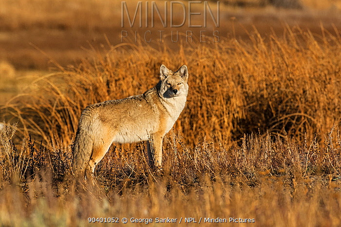 Coyote (Canis latrans) at sunrise Yellowstone National Park, Wyoming, USA, October  -  George Sanker/ npl