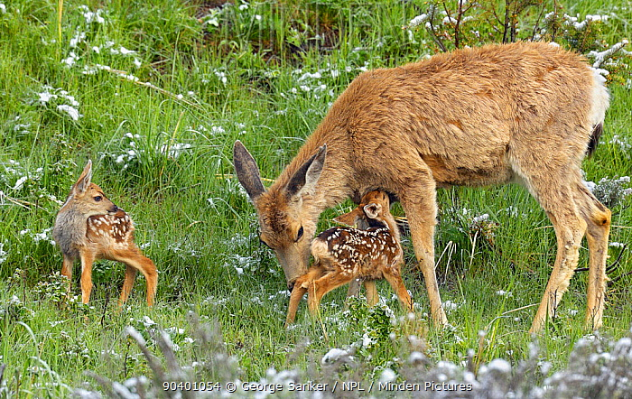Mule Deer (Odocoileus hemionus), mother tends to her just-born twin fawns Yellowstone National Park, Wyoming, USA, June  -  George Sanker/ npl